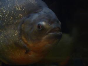 not a man eating piranha