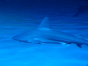 Mandalay Bay shark reef